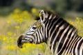 Картинка лето, природа, зебра