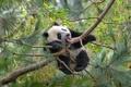 Картинка дерево, bear, panda