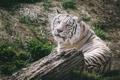 Картинка морда, отдых, хищник, белый тигр, дикая кошка