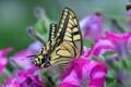 Картинка цветы, бабочка, крылья, мотылек, петуния