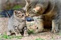 Картинка котёнок, кошки, кошка, материнство