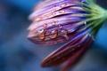 Картинка цветок, капли, макро, фото, растение, лепестки