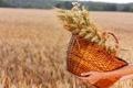 Картинка field, hands, wheat, basket