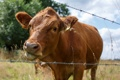 Картинка природа, корова, забор