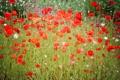 Картинка поле, лето, красный, маки