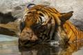 Картинка дикая кошка, морда, купание, хищник, водоем, тигр