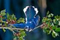 Картинка листья, ягоды, птица, крылья, ветка, хвост