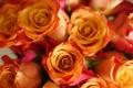 Картинка цветы, фон, widescreen, обои, роза, розы, бутон
