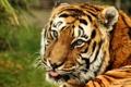 Картинка язык, взгляд, тигр, хищник