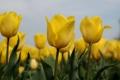 Картинка небо, листья, макро, природа, лепестки, стебель, тюльпаны