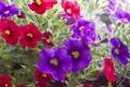 Картинка листья, цветы, фиолетовые, красные, red, flowers, violet leaves