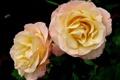 Картинка бутоны, розы, лепестки, макро