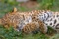 Картинка кошка, трава, отдых, леопард, амурский