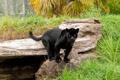 Картинка хищник, пантера, дикая кошка, черный ягуар