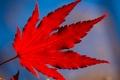 Картинка осень, природа, лист, багрянец