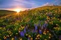 Картинка закат, цветы, природа, поляна, США, штат Вашингтон, Национальный парк