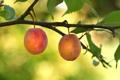 Картинка ягоды, ветка, сад, сливы