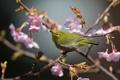 Картинка ветки, дерево, птица, сакура, соцветия