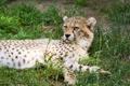 Картинка кошка, трава, отдых, гепард, детёныш