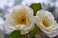Картинка листья, блики, фон, две, розы, белые, чайные