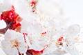 Картинка макро, вишня, весна, цветение