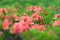 Картинка листья, цветы, розовый, куст, нежно, азалии