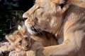 Картинка хищники, львица, львенок, на земле отдыхают, лежат вместе