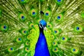 Картинка Desktop, Beautiful, Wallpaper, Peacock, Colourful