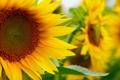 Картинка поле, подсолнухи, цветы