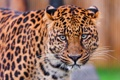 Картинка хищник, взгляд, леопард