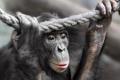Картинка природа, поза, обезьяна, примат, pygmy chimpanzee