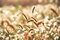 Картинка трава, цветы, колоски