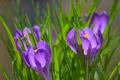 Картинка трава, цветы, природа, фиолетовые, крокусы, солнечно