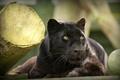 Картинка морда, отдых, пантера, дикая кошка, черный леопард, © Ania Jones