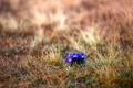 Картинка лето, трава, цветы, поляна, размытость, крокусы