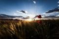 Картинка поле, пейзаж, маки, утро