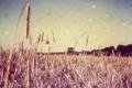Картинка пшеница, поле, колосья, боке