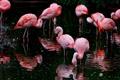 Картинка птицы, фламинго, водоём