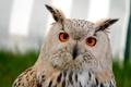 Картинка глаза, взгляд, сова, птица, уши, оперение