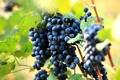Картинка листья, красный, природа, ягоды, куст, виноград, грозди