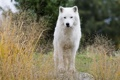 Картинка хищник, наблюдение, белый волк