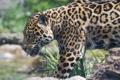 Картинка язык, кошка, ягуар, ©Tambako The Jaguar