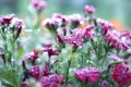 Картинка макро, цветы, природа, роса, гвоздики