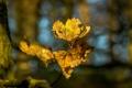 Картинка листья, ветка, макро, жёлтый