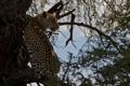 Картинка дерево, листва, леопард, профиль, дикая кошка