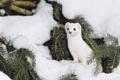 Картинка зима, снег, горностай, иголки