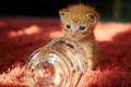 Картинка ковер, маленький, рыжий, банка, котёнок