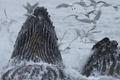 Картинка птицы, океан, чайки, Аляска, киты, Тихий океан, Горбатый кит