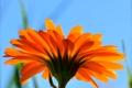 Картинка цветок, небо, трава, природа, лепестки