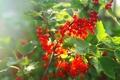 Картинка сад, листья, куст, ягода, смородина